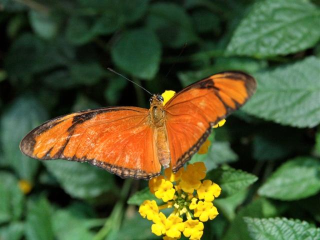Julia Longwingbutterfly female 3779880432_9f39949f0e_b