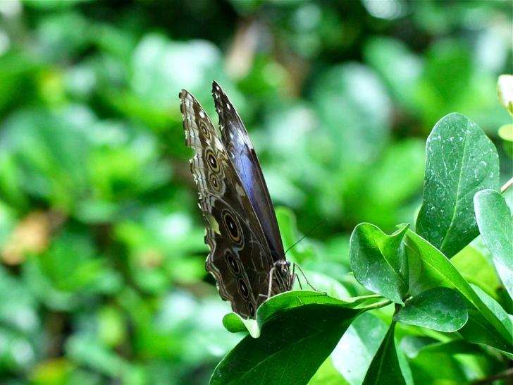 Blue Morpho Butterfly 4330619902_ec31e9c058_b
