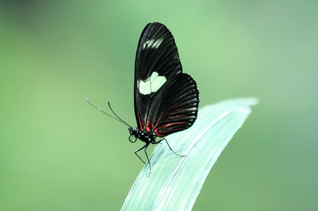 Doris Longwing 4747129049_3c7123e657_b