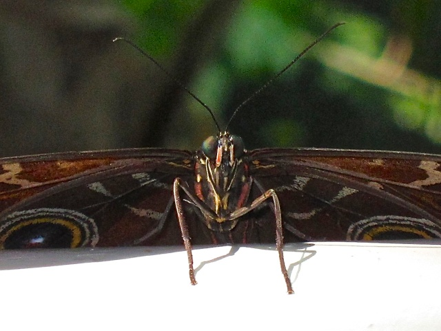 Blue Morpho Butterfly 8677456846_7df05acbb0_o