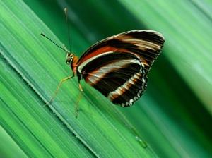 Banded Orange Heliconian aka Orange Tiger (wing bottom)Dryadula phaetusa Dryadulaphaetusa