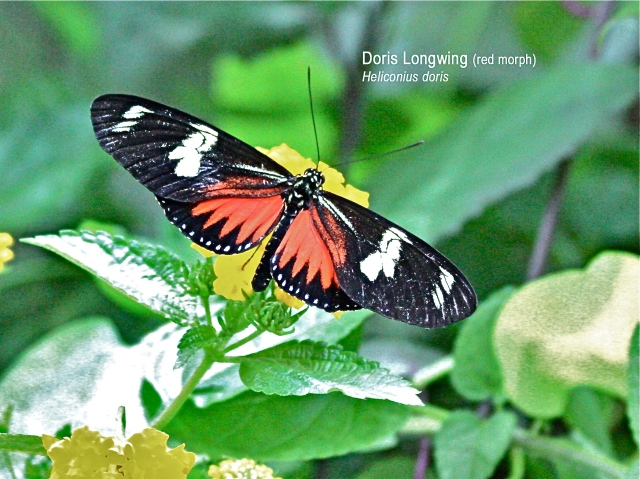 Doris Longwing red morph Heliconius doris light sm text