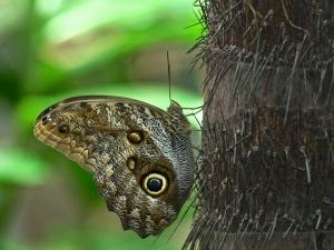 Giant Owl Butterfly Caligosp.