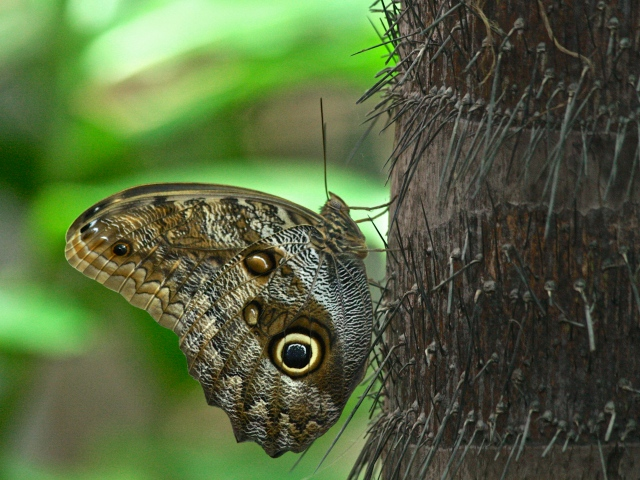 Giant Owl Butterfly Caligo sp.