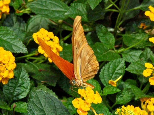 Julia Longwingbutterfly Male IMG_0422