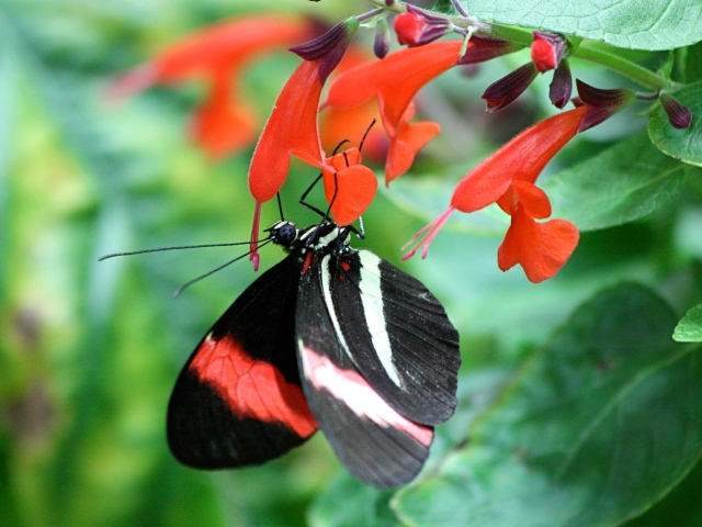 Postman (wing bottom)Heliconius melpomene