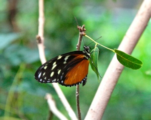 Tiger Longwing 3779879064_915dfdc8af_b