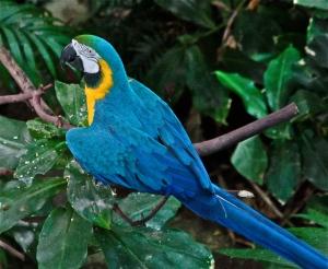 Blue and Gold Macaw Araararauna