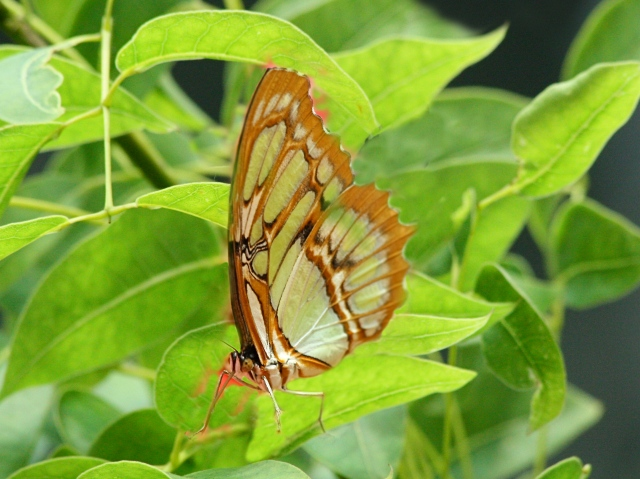 Malichite (wing bottom) on leaves_