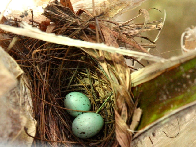 Silver-Beaked Tanager eggs