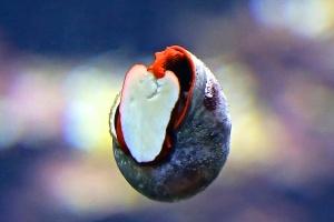 Red Foot Moon Snail Norrisia norrisiIMG_7601