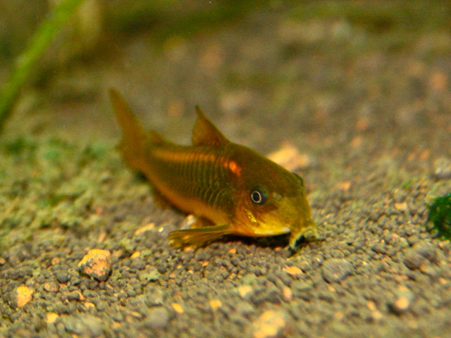 Orange Neon Corydoras 3703717946_731674ba1e_b