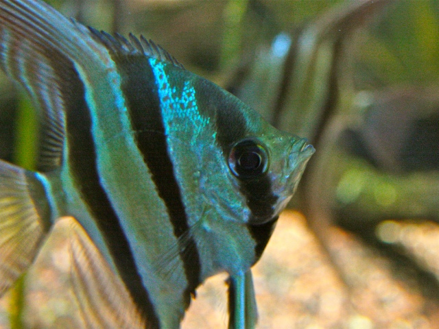 Altum Angelfish 3787890518_a572b4929f_b