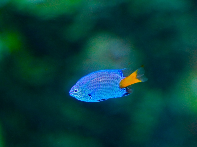 Yellow-tail Blue Damselfish 4533756786_58d0151ab2_o