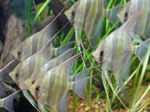 Altum Angelfish 4689972848_189e460e8f_b