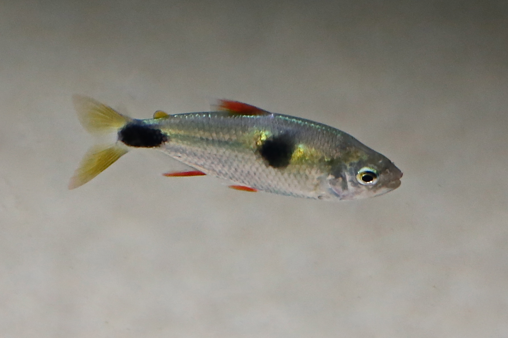 10-15-13 Bucktooth Tetra from Ron?s Freshwater Series Rons ...