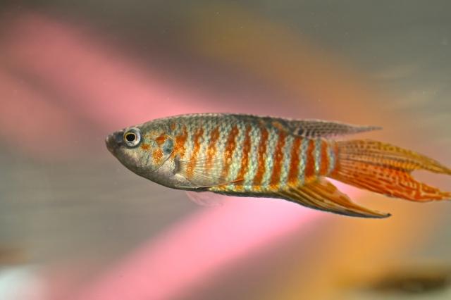 Paradisefish IMG_7999