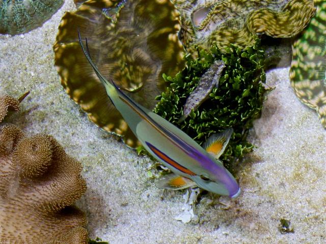 Orangeband Surgeonfish aka Orange Shoulder Tang IMG_6416