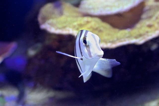 Convict surgeonfish 8156826256_a90f659c94_o