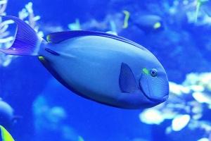 RingtailSurgeonfish8680230384_409ba2ee72_k