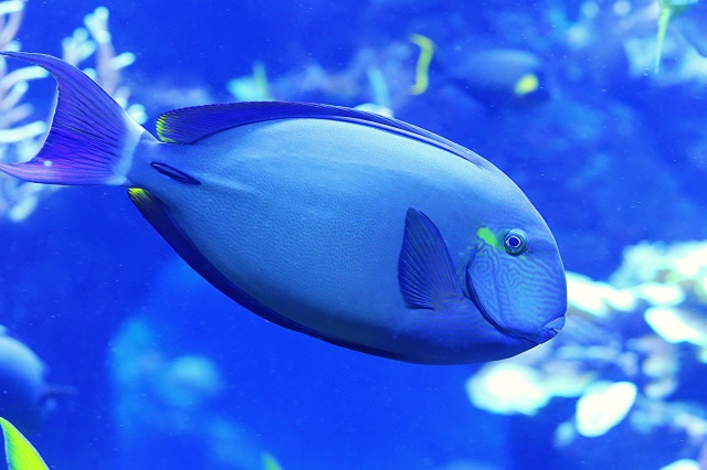 RingtailSurgeonfish8680230384_409ba2ee72_k