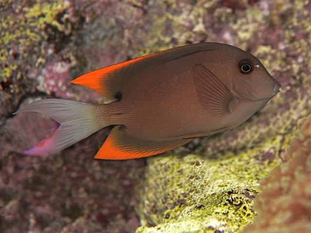 Acanthurus pyroferus (Acanthuridae)
