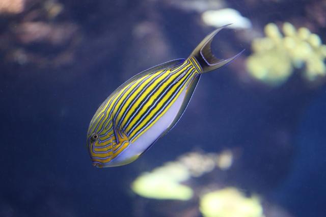 Lined Surgeonfish Acanthurus lineatus