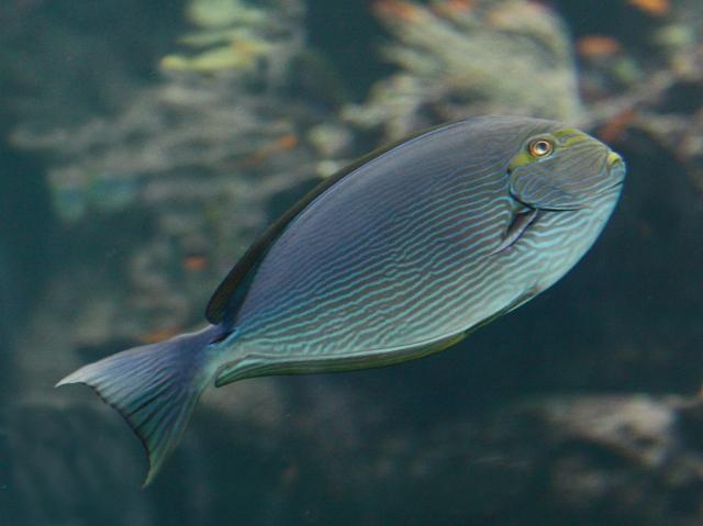 Mata Tang Acanthurus mata (Acanthuridae) RJD_IMG_0 IMG_0726