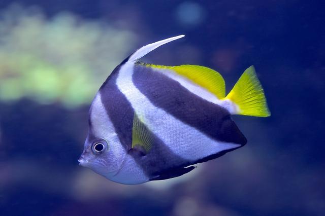 Bannerfish14986703505_d27a215a05_k