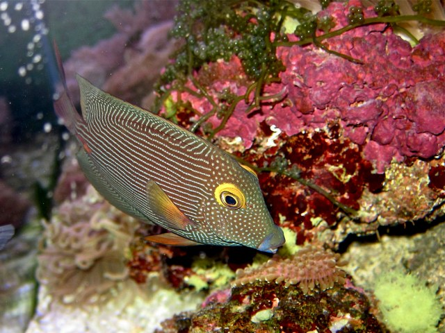 Goldring Bristletooth aka Spotted Surgeonfish (brown variant)13161055833_2f47ca36cb_b