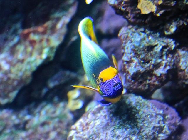 Yellow Mask Angelfish13298332785_879178297f_b