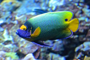 Yellow Mask Angelfish13298710574_515d270046_b