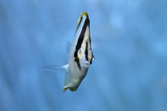 Bank butterflyfish Chaetodon aya,Chaetodontidae_RJD- IMG_6488