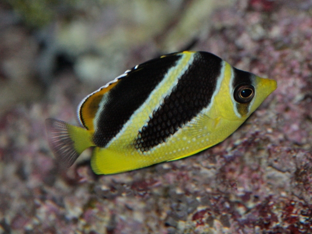 Chaetodon mitratus or Indian Butterflyfish SP07IMG_0103