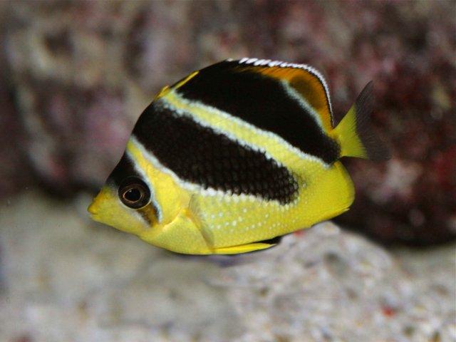 Chaetodon.mitratusIndian ButterflyfishSP07low.IMG_0100.IMG_0100