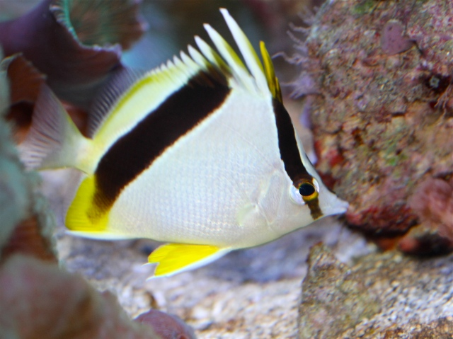 Bank butterflyfish Chaetodon aya,Chaetodontidae_RJD IMG_2745