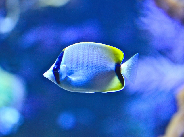 Reef butterflyfish  Chaetodon sedentarius ChaetodontidaeIMG_5652