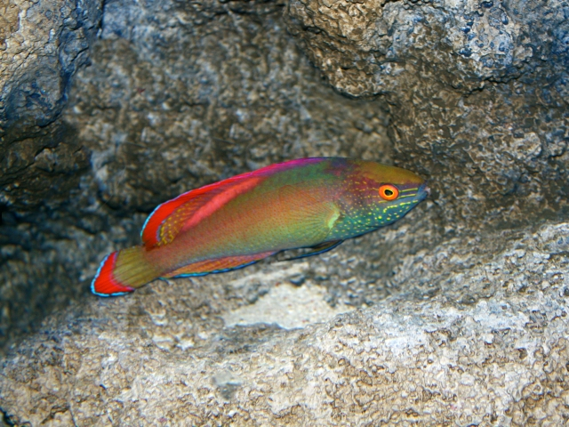 Red-Margin Wrasse