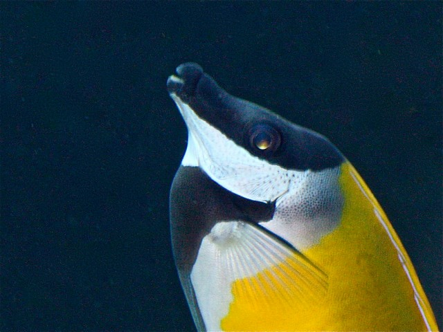 Blotched Foxface Rabbitfish13717573555_6773f7d8a1_b
