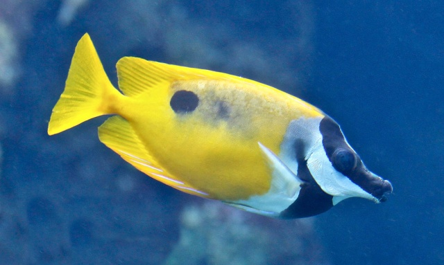 Blotched Foxface Rabbitfish 13717964414_50be7e63d0_b