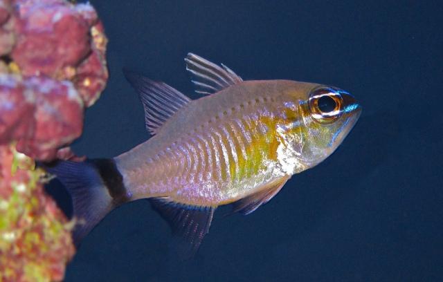 Ring-Tail Cardinalfish Ostorhinchus aureus13924803567_e8eb47a0af_b