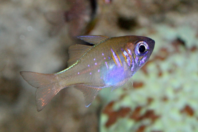 ThreadfinCardinalfish2990748320_4b0c6286dc_b