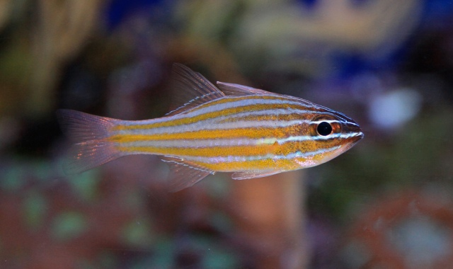 YellowstripedCardinalfish4184514661_35a0a5c254_b