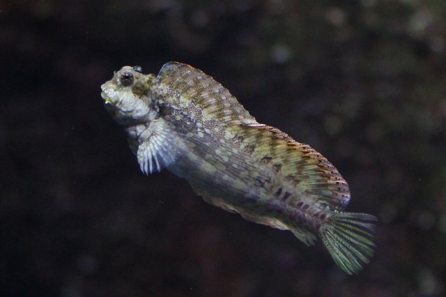 Salarias fasciatus 7631333042_305f4a1ab6_b | Ron's Critter of the Day