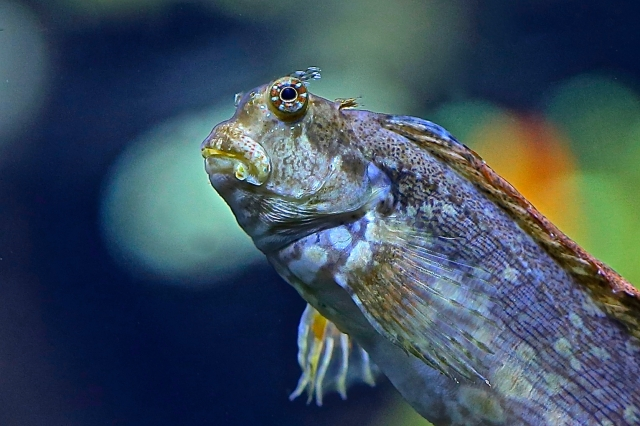Jeweled Blenny8748640285_1b56bb468a_o