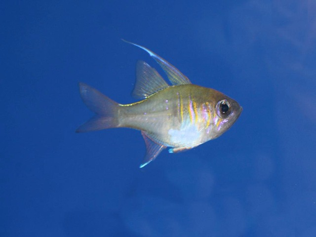 ThreadfinCardinalfish4335618020_27ea998a8d_b