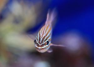 YellowstripedCardinalfishApogon cyanosoma, PR24