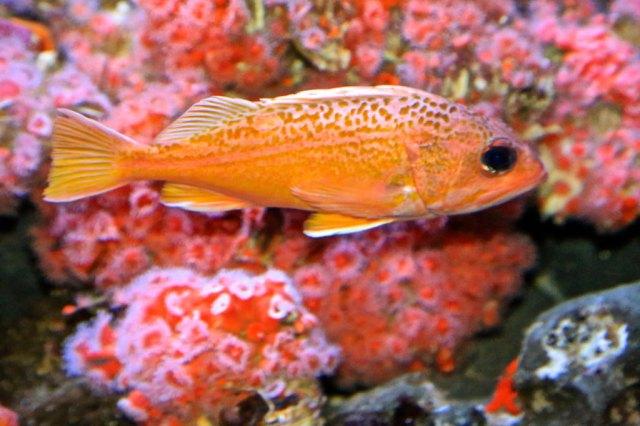 Greenspotted Rockfish14453711206_335de07037_b