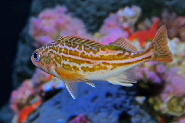 GreenstripedRockfish14475489192_5dbe5d96ff_b