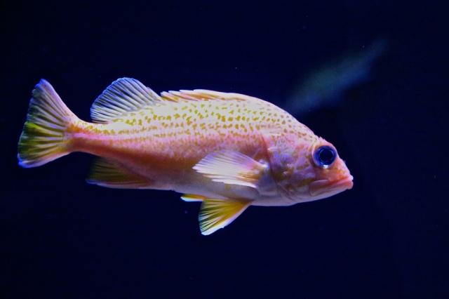 Greenspotted Rockfish14475518222_405daf78f0_b